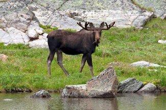 Montana Moose