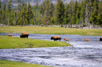 Yellowstone National Park wild Bison
