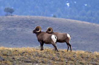 bighorn sheep rams montana guided trip fly fishing