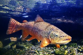 Guided Montana Fly Fishing Brown Trout Yellowstone