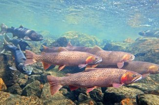 Montana Cutthroat Trout fly fishing