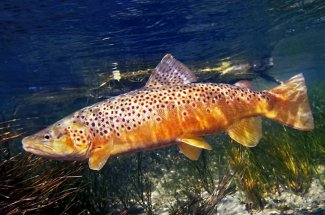 Brown trout Montana guided fly fishing trip Yellowstone