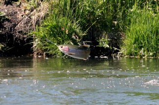 jumping rainbow trout guide montana fly fishing yellowstone national park