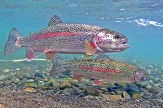 two montana rainbow trout fly fishing yellowstone river guide