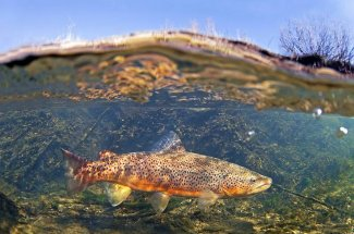 yellowstone national park fly fishing brown trout catch and release