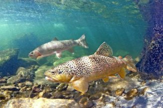 underwater rainbow trout yellowstone national park guided fly fishing