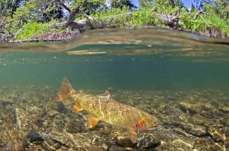 summer time cutthroat trout yellowstone national park fly fishing guided adventure trip