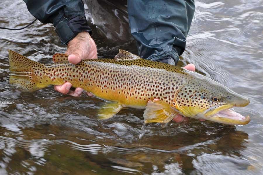 Blackfoot River Brown Trout Fishing