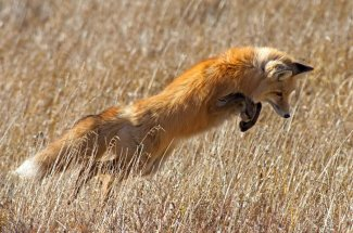 fox montana fly fishing yellowstone national park