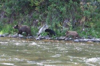 black bear fly fishing montana adventure yellowstone national park