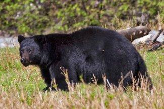 black bear yellowstone national park fly fishing montana