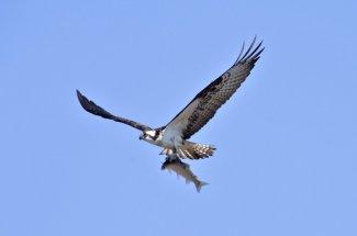 osprey fishing fly montana catch not release