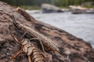 salmon fly hatch montana fly fishing trout guided trip