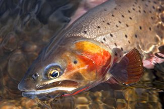 Guided Trips Montana Fly Fishing Cutthroat Trout