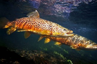 Fly fishing Brown Trout National Parks Guides