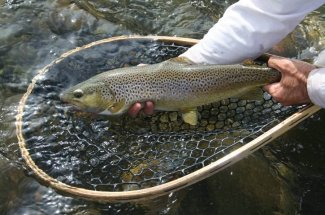 netted brown trout montana fly fishing guide yellowstone national park