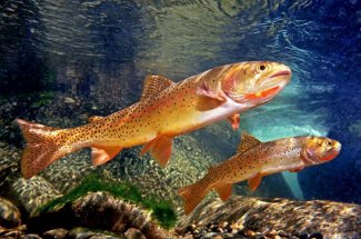 colorful cutthroat trout yellowstone national park fly fishing