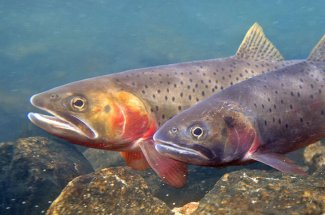 two cutthroat trout yellowstone national park montana fly fishing