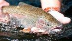 Fly Fishing the Kootenai River in Montana