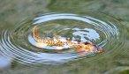 Yellowstone National Park Cutthroat Trout Fishing